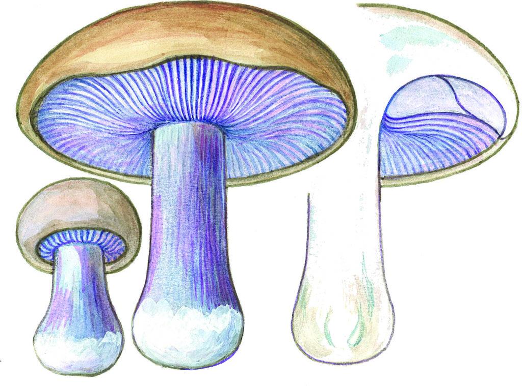 blå ridderhatt