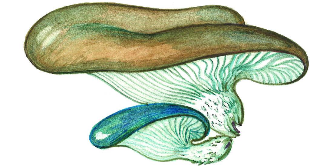 blågrå østersopp
